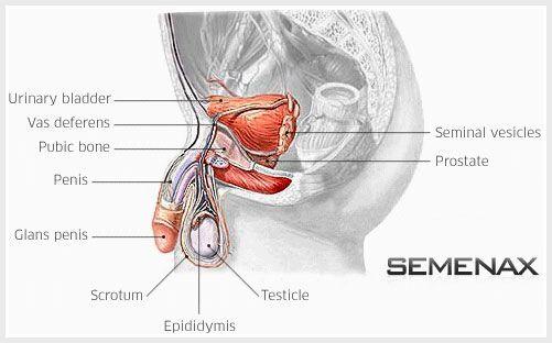 Penis Graphic