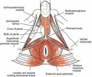 last longer in bed pelvic floor muscle