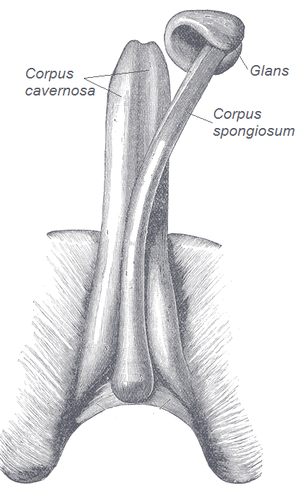 penis anatomy glans corpus cavernosa spongiosum