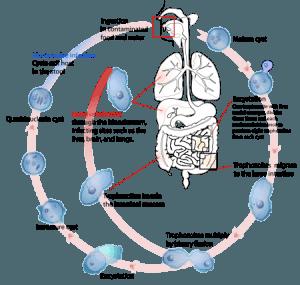 entamoeba-histolytica